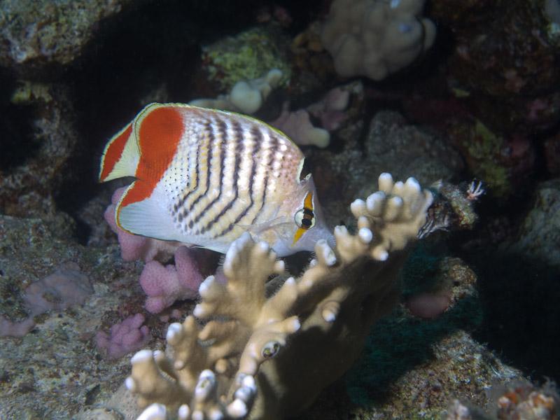 Photo at Ras Ghazlani:  Eritrean butterflyfish