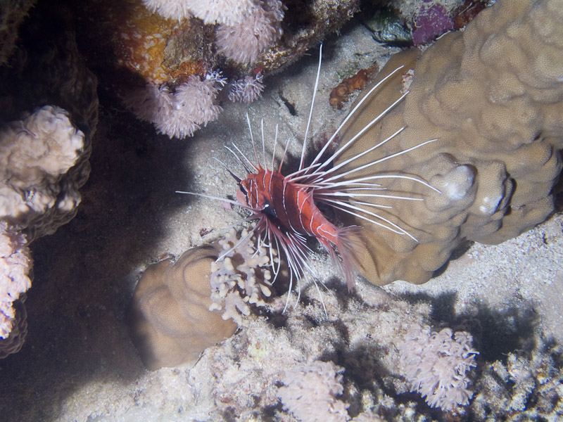 Photo at Ras Ghazlani:  Radial firefish