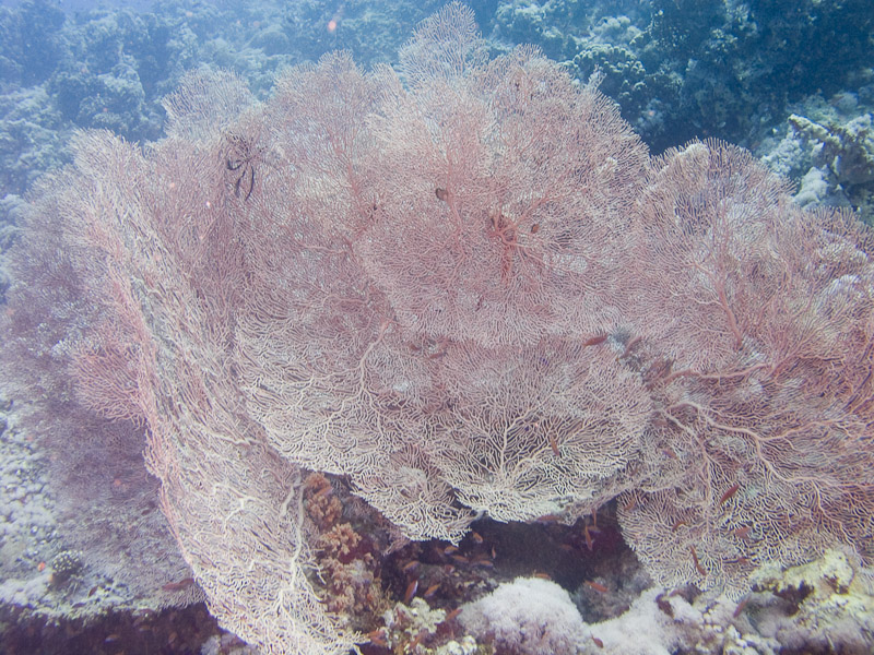 Photo at Jackson Reef:  Gorgonian Sea Fan