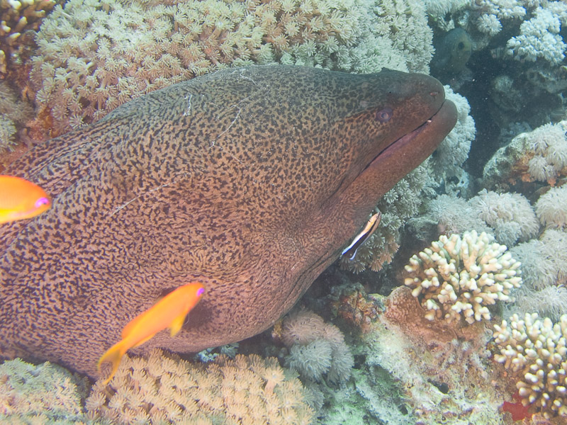 Photo at Jackson Reef:  Giant moray