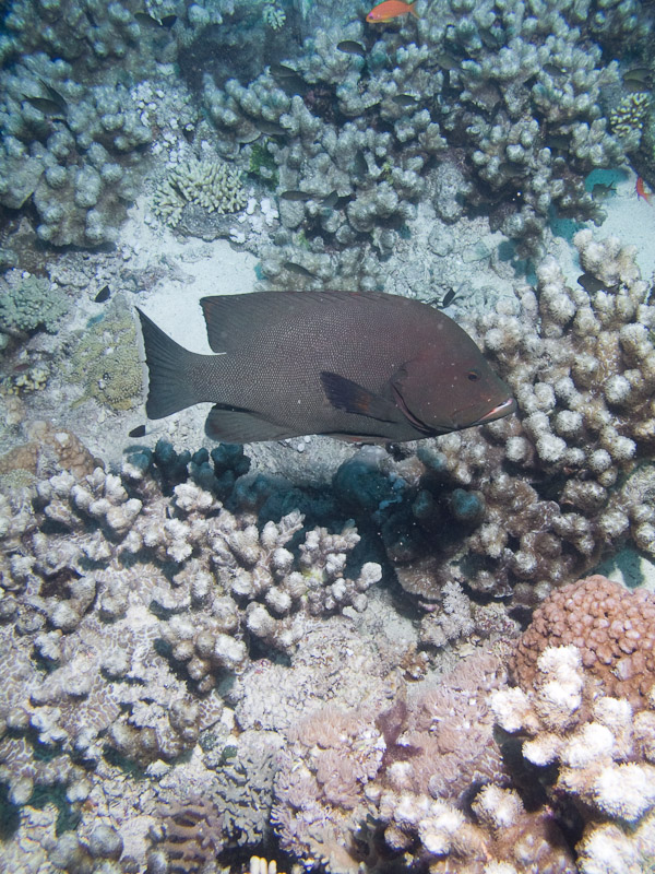 Photo at Jackson Reef:  Redmouth grouper