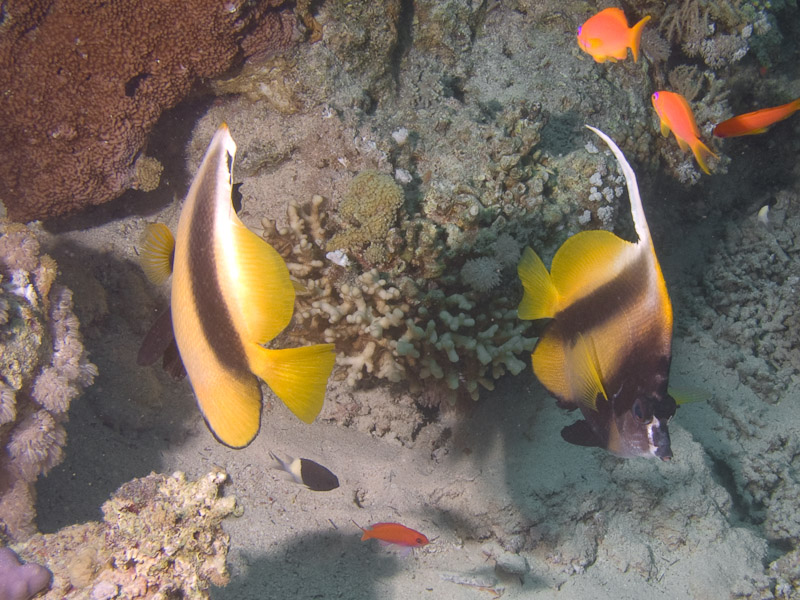 Photo at Jackson Reef:  Red Sea bannerfish