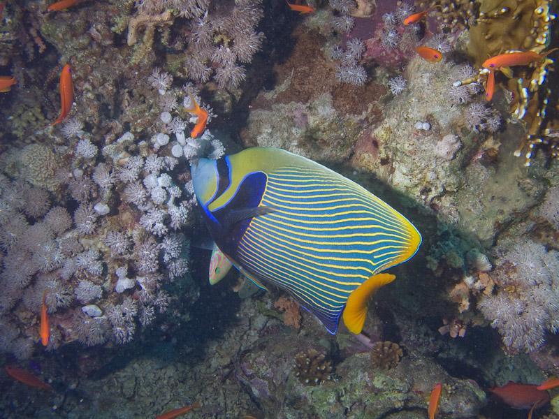 Photo at Jackson Reef:  Emperor Angelfish