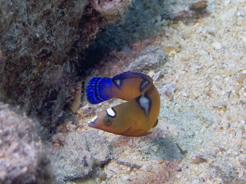 Photo at Shark & Yolanda Reefs:  Coris