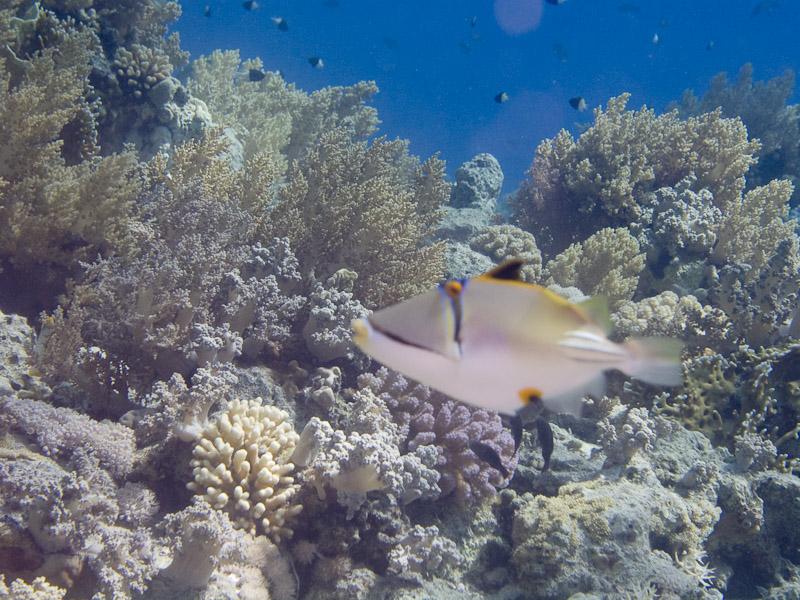 Photo at Shark & Yolanda Reefs:  Picasso triggerfish