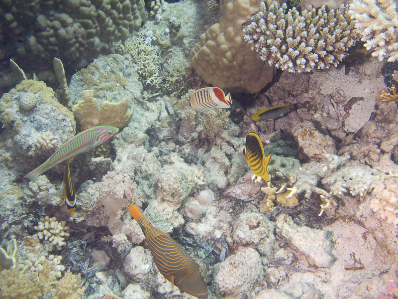 Photo at Shark & Yolanda Reefs:  Orange-lined triggerfish