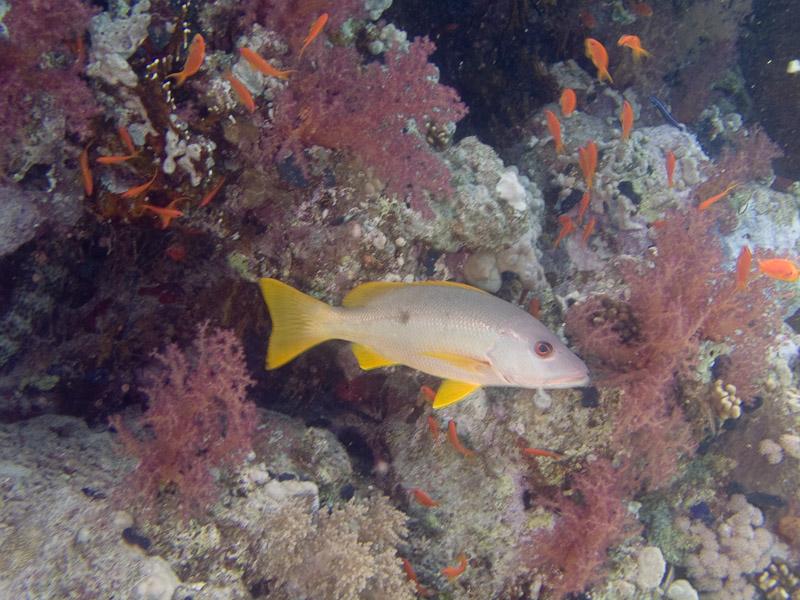 Photo at Shark & Yolanda Reefs:  Onespot snapper