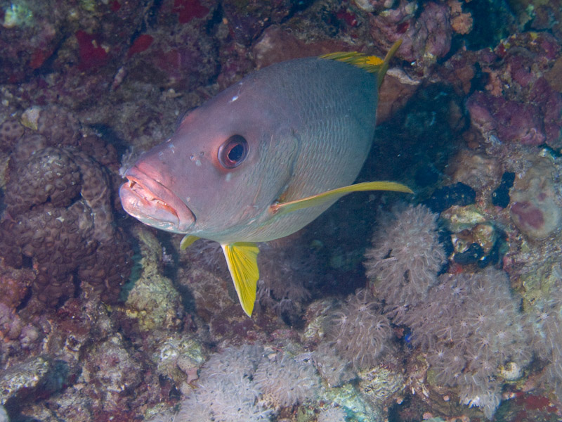 Photo at Shark & Yolanda Reefs:  Onespot snapper