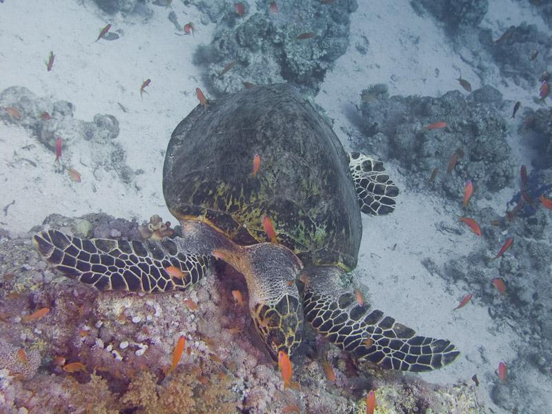 Photo at Shark & Yolanda Reefs:  Hawksbill Turtle