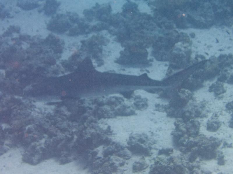 Photo at Shark & Yolanda Reefs:  Tiger shark
