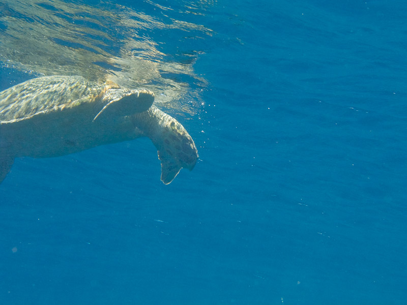 Photo at Shark & Yolanda Reefs:  Hawksbill Turtle
