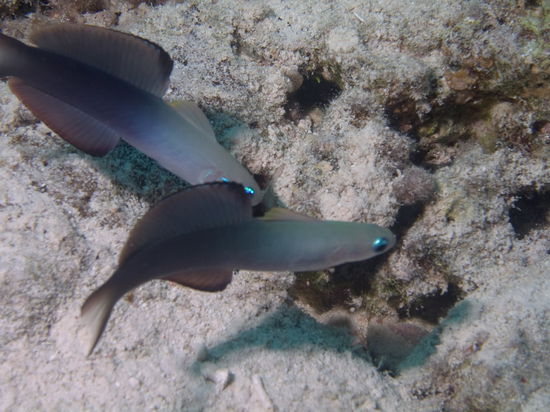 Photo at Near Garden:  Blackfin Dartfish