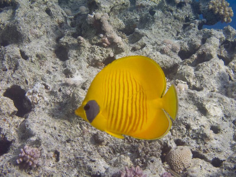 Photo at Near Garden:  Bluecheek butterflyfish
