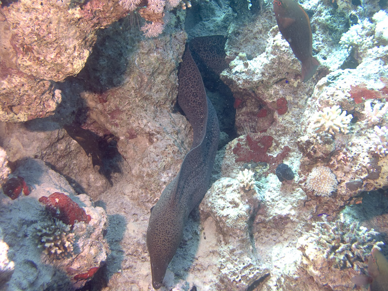 Photo at Ras Caty:  Giant moray