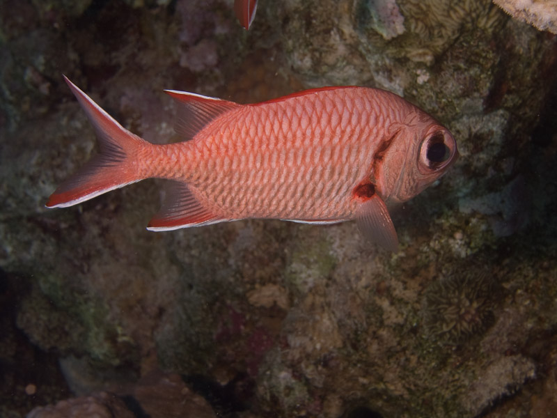 Photo at Ras Caty:  Pinecone soldierfish
