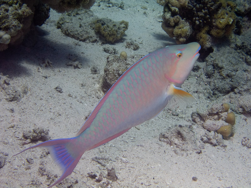 Photo at Ras Caty:  Candelamoa parrotfish