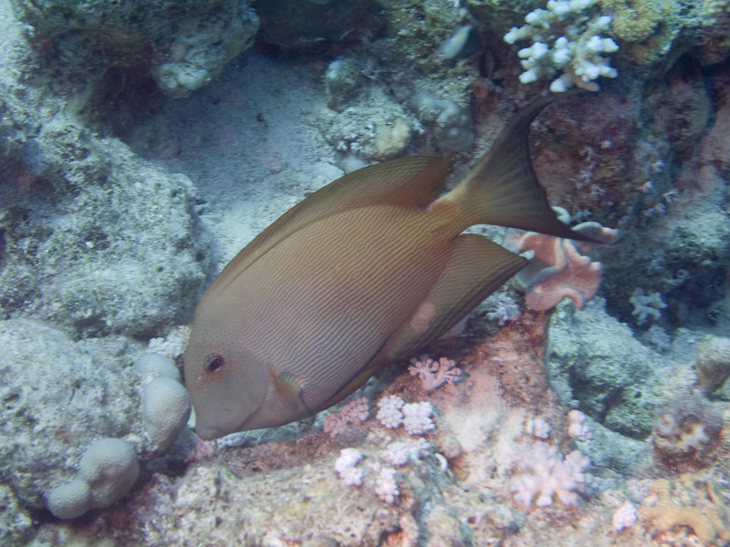 Photo at Fiddle Garden:  Striated surgeonfish