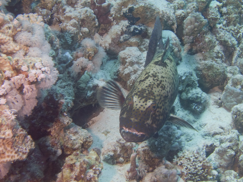 Photo at Fiddle Garden:  Red Sea coralgrouper