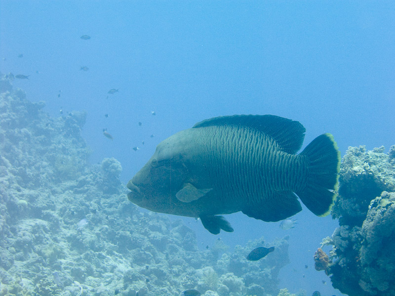 Photo at Fiddle Garden:  Humphead wrasse