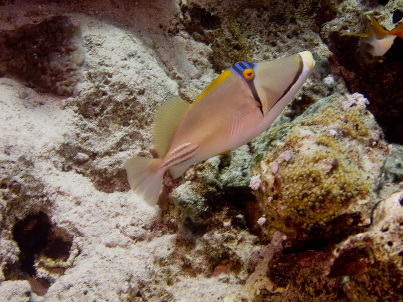 Photo at Fiddle Garden:  Picasso triggerfish