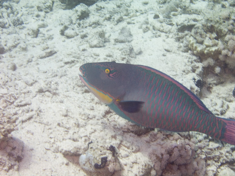 Photo at Fiddle Garden:  Bicolour parrotfish