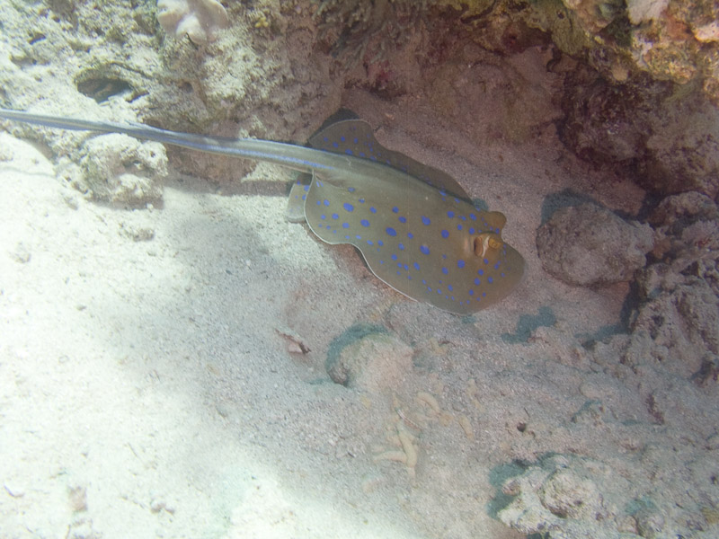 Photo at Fiddle Garden:  Bluespotted ribbontail ray