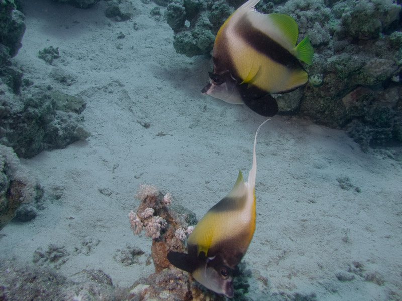 Photo at Ras Caty:  Red Sea bannerfish