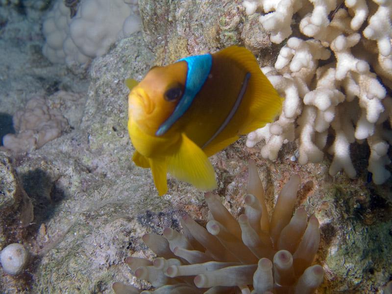 Photo at Ras Caty:  Twoband anemonefish