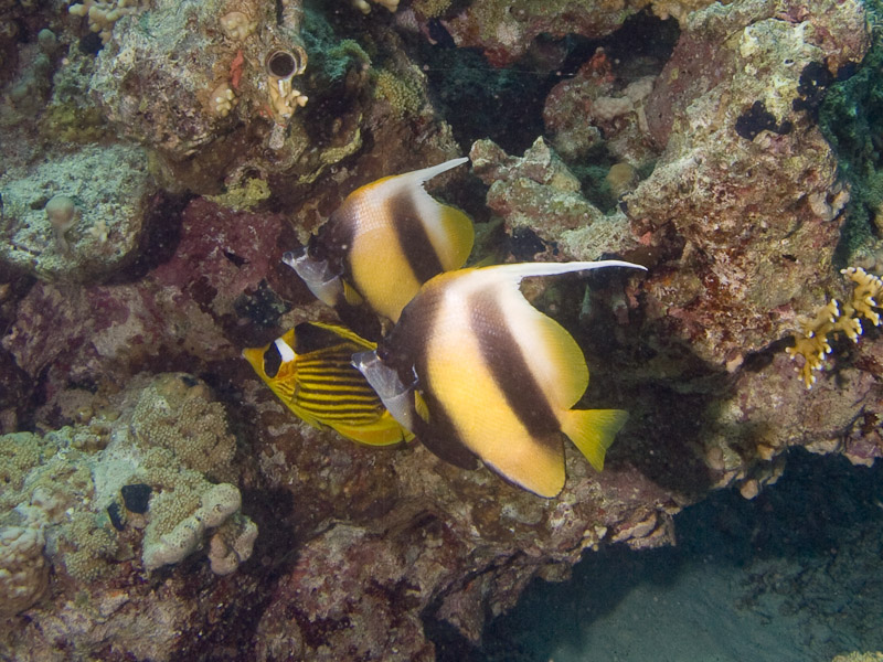 Photo at Ras Caty:  Diagonal butterflyfish,Red Sea bannerfish