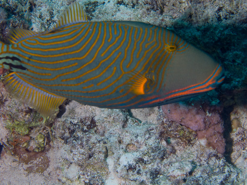 Photo at Ras Caty:  Orange-lined triggerfish