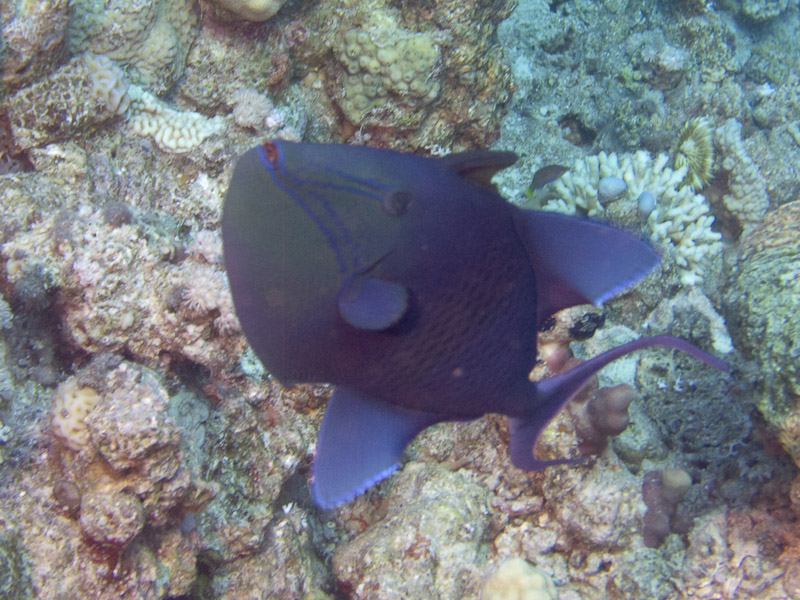 Photo at Fiddle Garden:  Redtoothed triggerfish