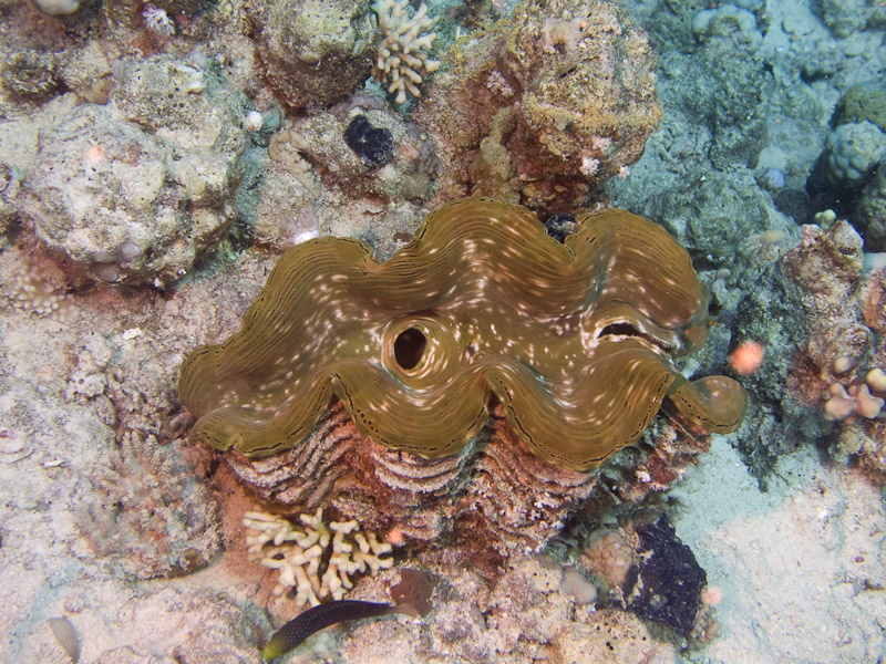 Photo at Fiddle Garden:  Giant Clam