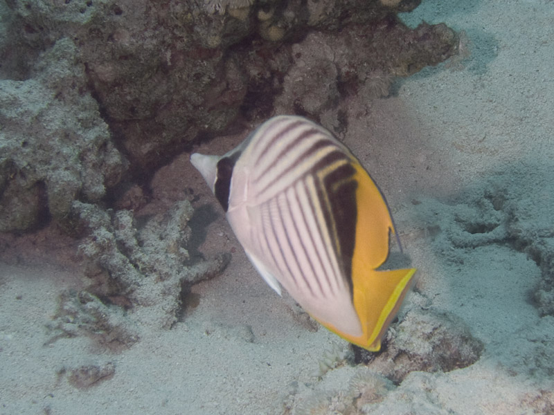 Photo at Fiddle Garden:  Threadfin butterflyfish