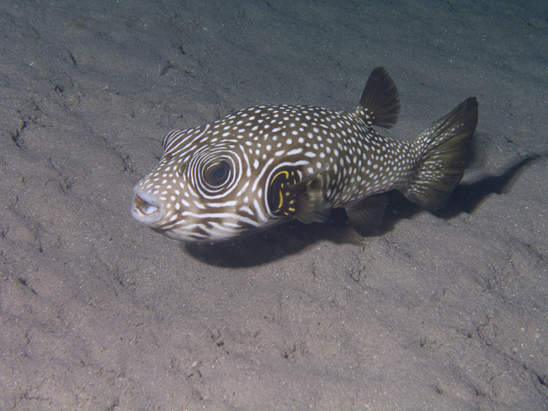 Photo at Movenpick Reef:  White-spotted puffer
