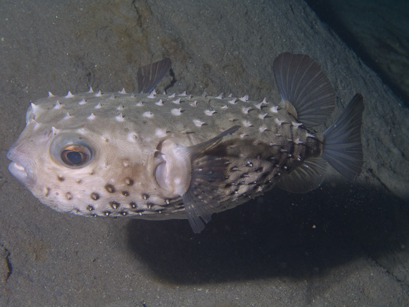 Photo at Movenpick Reef:  Spotbase burrfish