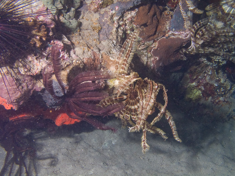 Photo at Movenpick Reef:  Crinoid feather star