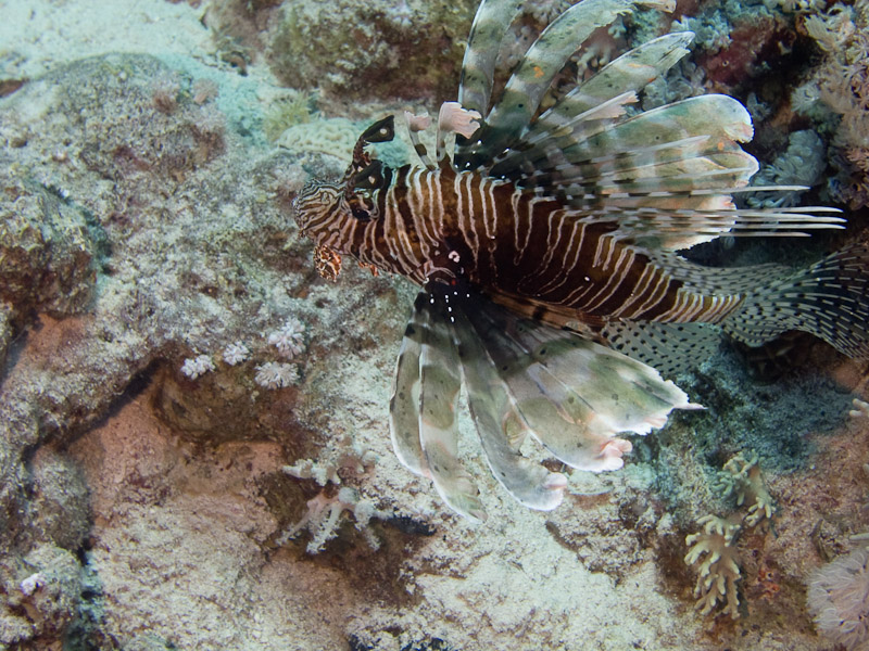 Photo at Shark & Yolanda Reefs:  Devil firefish