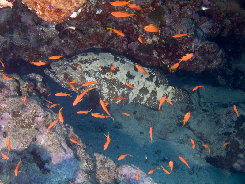 Photo at Shark & Yolanda Reefs:  Brown-marbled grouper