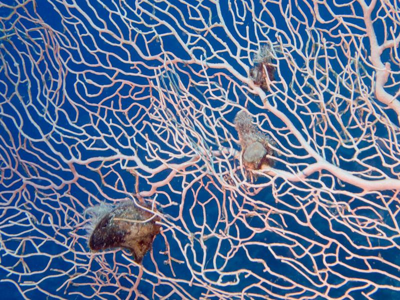 Photo at Ras Ghazlani:  Gorgonian Sea Fan