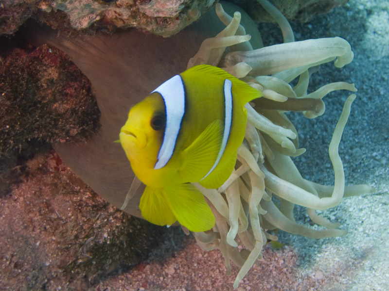 Photo at Woodhouse Reef:  Twoband anemonefish