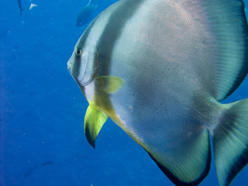 Photo at Shark & Yolanda Reefs:  Orbicular batfish