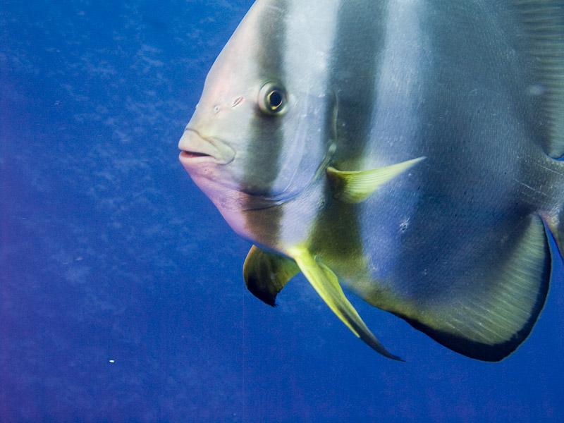 Photo at Shark & Yolanda Reefs:  Orbicular batfish