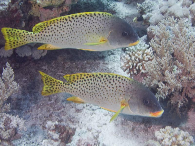 Photo at Shark & Yolanda Reefs:  Blackspotted rubberlip
