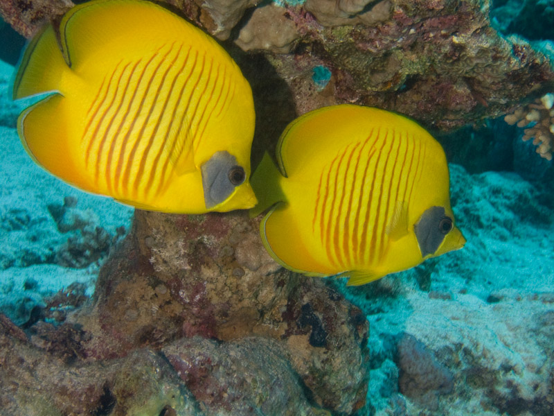 Photo at Ras Caty:  Bluecheek butterflyfish