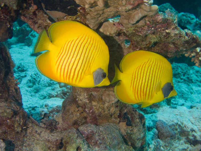Photo at Ras Caty:  Bluecheek butterflyfish
