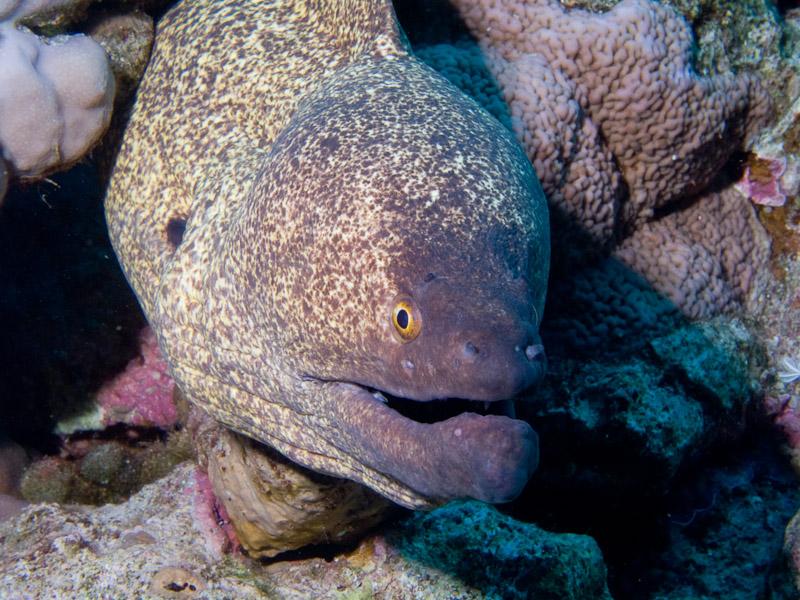 Photo at Ras Caty:  Yellow-edged moray