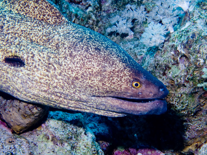 Photo at Ras Caty:  Yellow-edged moray