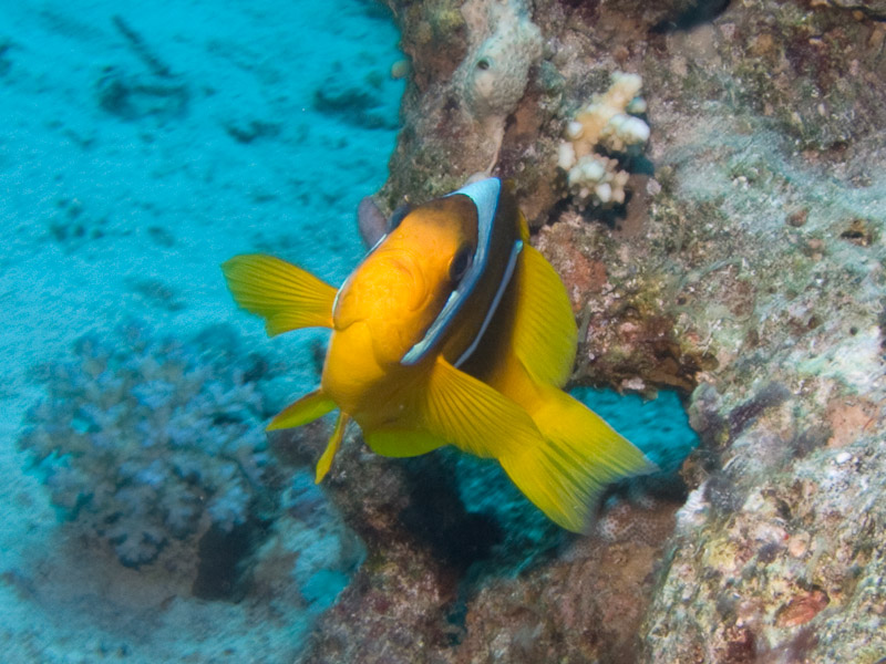 Photo at Ras Caty:  Twoband anemonefish
