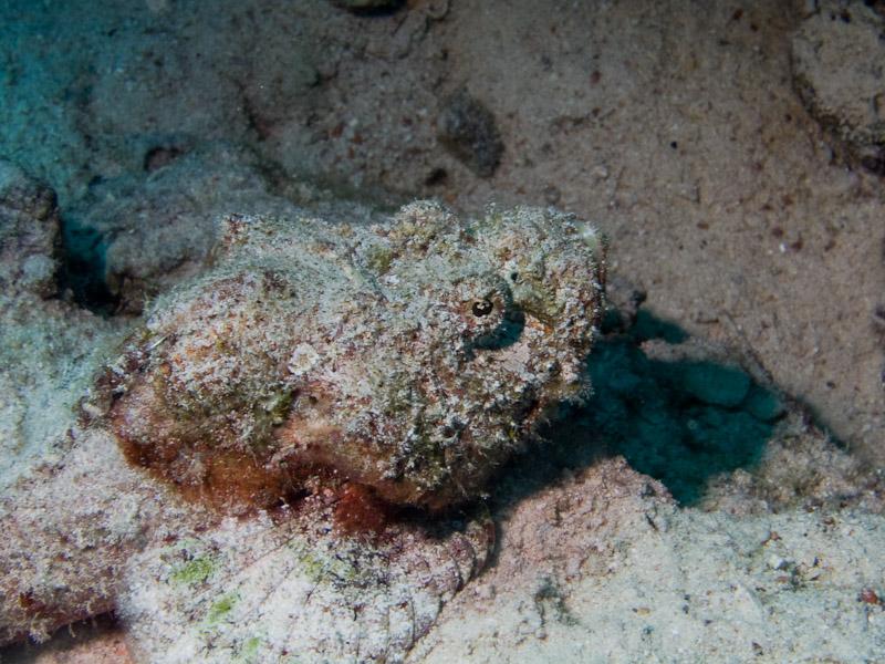 Photo at Ras Caty:  False stonefish