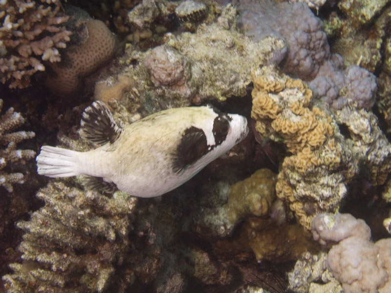 Photo at Ras Caty:  Masked puffer